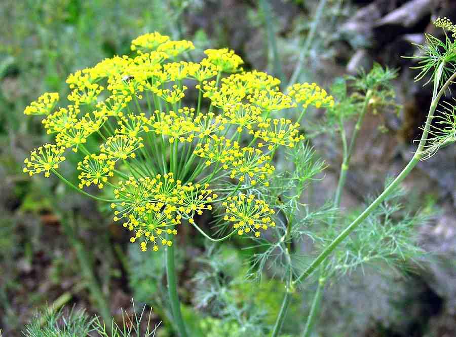 magas vérnyomású növény